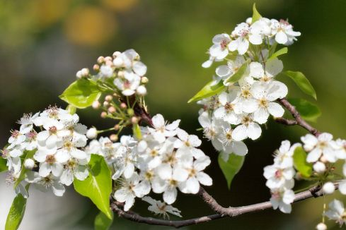 1024px-pyrus_calleryana_callery_pear_blossom